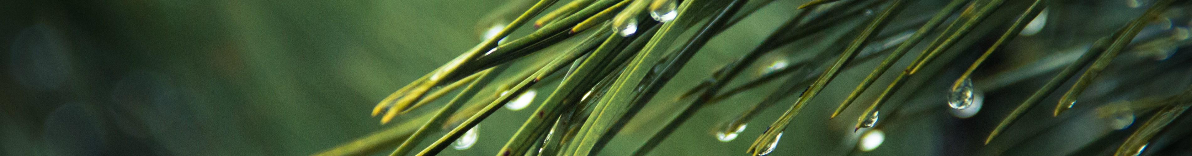 nature-tree-green-pine1